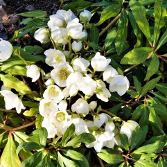Christrosen in voller Blüte